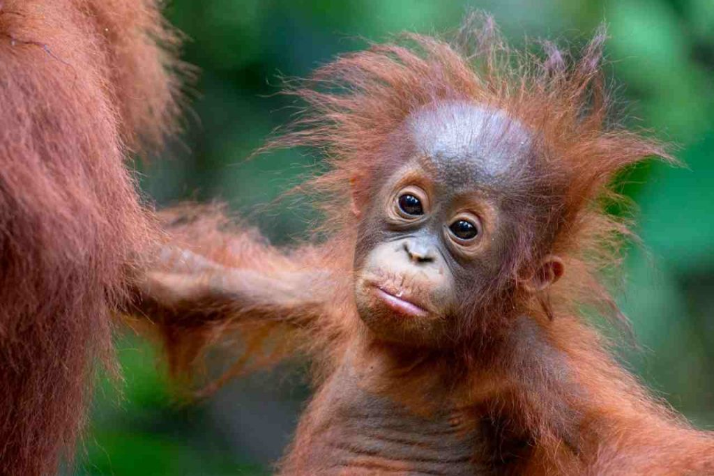 Beautiful baby orangutan