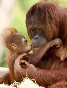 Baby orangutan under the care of their mother