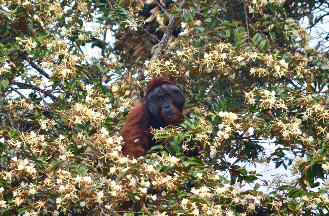 Male orangutan up in the tree