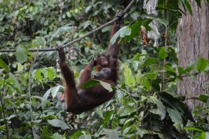 The Sepilok Orangutan Sanctuary – The Ultimate Primate Experience