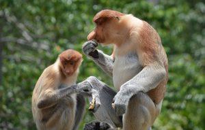 proboscis money sharing food