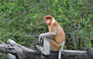 proboscis monkey sitting