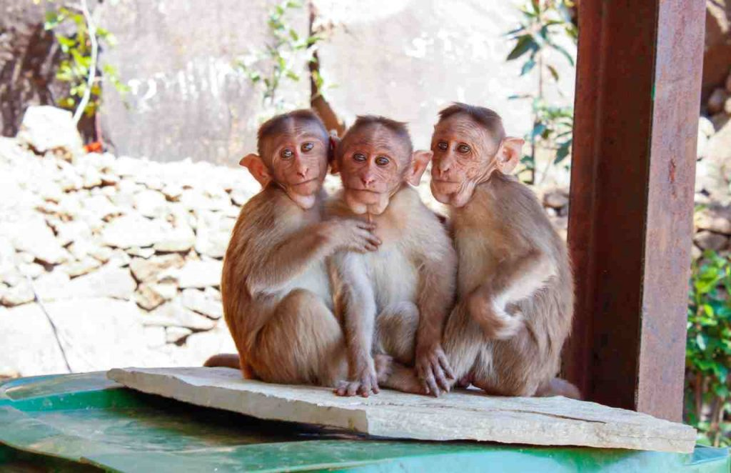 Proboscis monkey babies