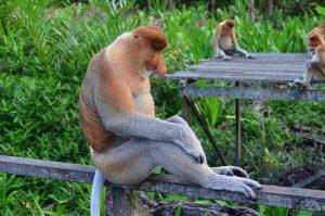 Proboscis big nose monkey
