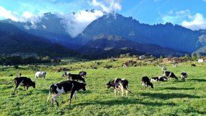 kundasang dairy farm