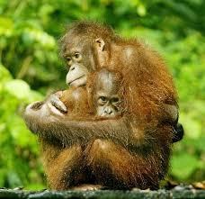 Sighting orangutans: Sabah Eco tour