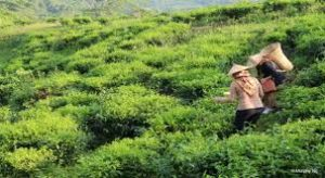 ssabah tea garden, kundasang