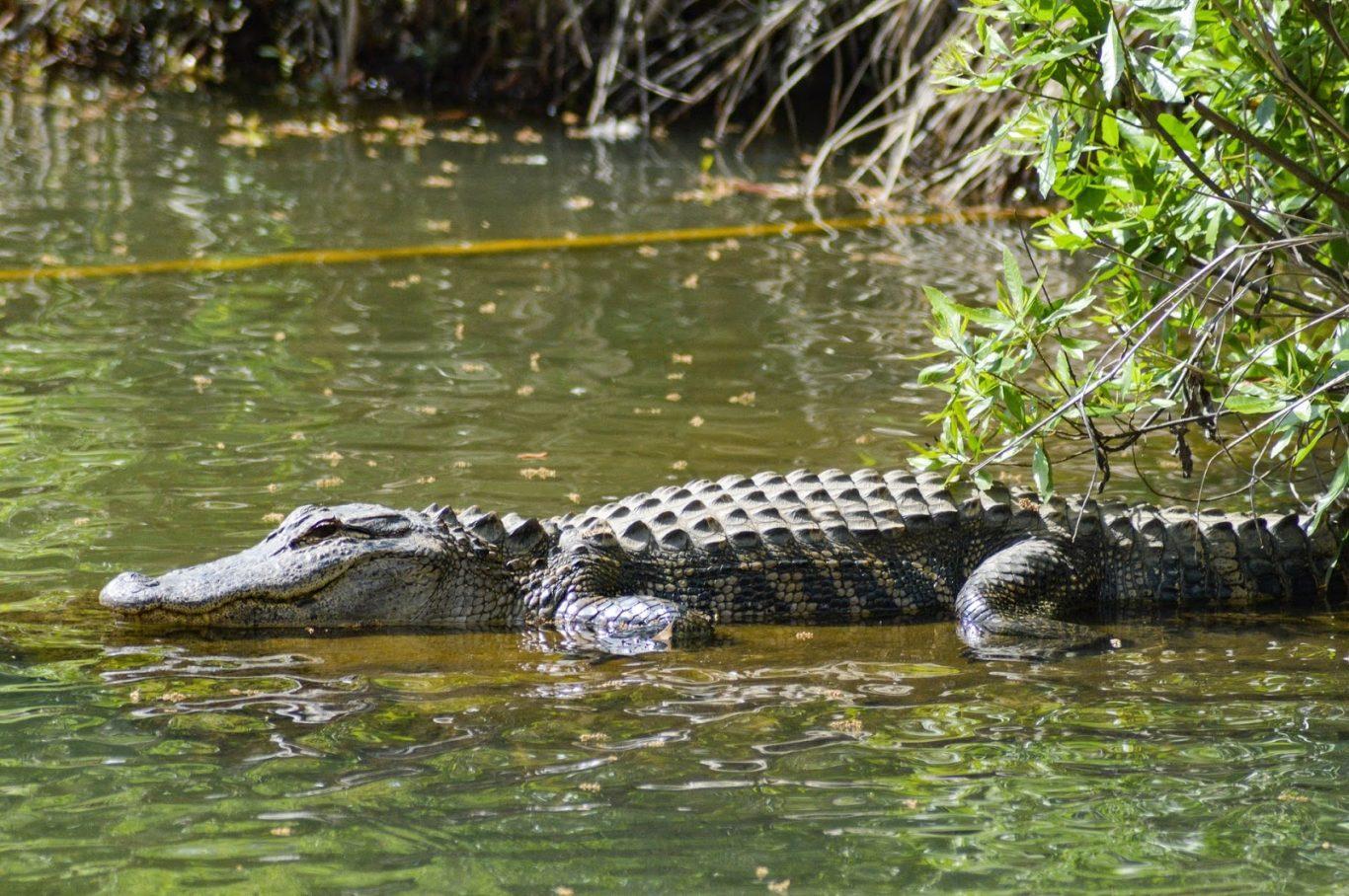crocodile Tuaran